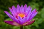 _lotus