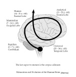 diagram  maturation and evolution of the human brain (lifetime).